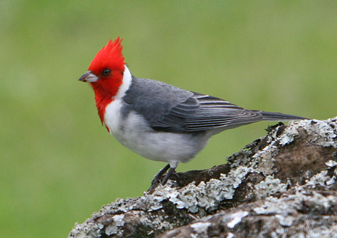 Brazilian Red Cap Cardinal